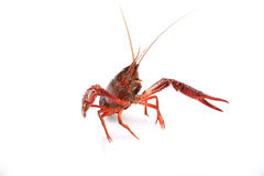Lobster. General thick, long flesh thick, more than a hard spines, delicious, is a rare seafood Royalty Free Stock Photography