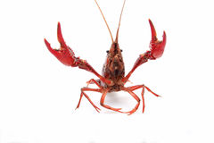 Lobster. General thick, long flesh thick, more than a hard spines, delicious, is a rare seafood Stock Photo
