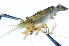 Lobster or giant freshwater prawn Royalty Free Stock Photo
