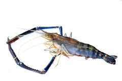 Lobster or giant freshwater prawn Stock Images