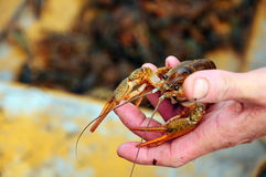 Lobster on hand. An alive crayfish / lobster on hand Royalty Free Stock Photos