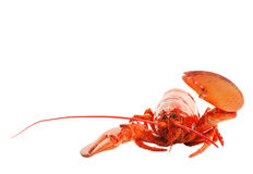 Lobster Hello Stock Photography