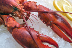 Lobster on ice Royalty Free Stock Image
