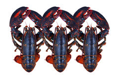 Lobster isolated on background. Royalty Free Stock Photography