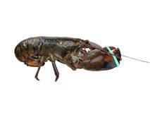 Lobster - live Royalty Free Stock Photos