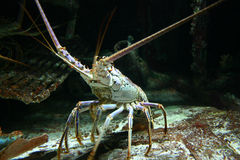 Lobster Lobster. Lobster sitting on a rock Royalty Free Stock Photo