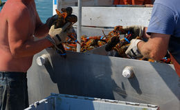 Lobster man sorting through fresh lobster catch Stock Photography