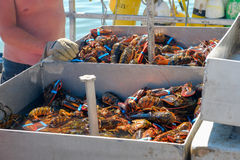 Lobster man sorting through fresh lobster catch Stock Image