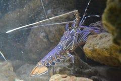 Lobster in Noumea Aquarium Royalty Free Stock Images