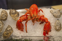 Lobster and oysters on ice on display in Italian restaurant Royalty Free Stock Photo