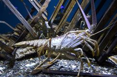 Lobster in Point Defiance Zoo and Aquarium. Point Defiance Zoo & Aquarium has nice sea animals royalty free stock image
