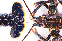 Lobster red and Blue. Lobster placed on a white background Royalty Free Stock Photography