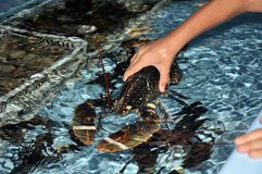 Lobster in a restaurant. Seafood. Stock Image