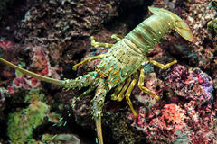 Lobster on the rock. Under deep water Stock Photo