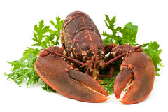 Lobster salad. Isolated on white Royalty Free Stock Photo