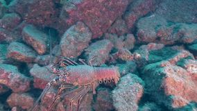 Lobster in Sanbenedicto island from Revillagigedo Archipelago stock footage