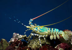 Lobster. Sea crawfish (Spiny lobster, Palinurus stock image