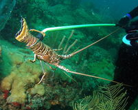 Lobster Season Royalty Free Stock Image