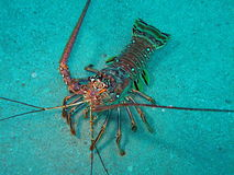 Lobster in south Florida. This image was taken at the beach in Pompano beach, Florida stock photo
