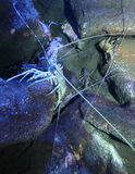 Lobster. A spiny lobster shyly crawls across the seafloor Royalty Free Stock Photography