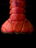 Lobster Tail. Cooked Lobster Tail on black background with dramatic  sidelighting Stock Photography