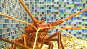 Lobster in a tank stock footage