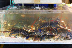Lobster in tank Stock Photo