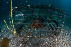 Lobster in Trap. A lobster sits in a trap off the coast of California. Lobster season currently lasts about six months in California Stock Photo