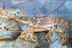 Lobster under water Stock Photography