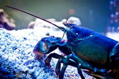 Lobster underwater Stock Photography