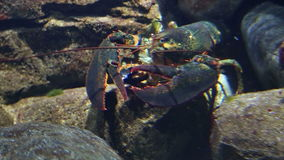 Lobster underwater. Spiny lobster underwater under a coral reef ledge stock video footage