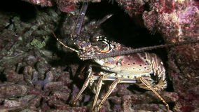 Lobster Walking on Coral Reef in search of food. Spiny Lobster Walking on Coral Reef in search of food. Amazing, beautiful underwater world Bahamas and the life stock video