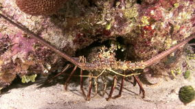 Lobster Walking on Coral Reef in search of food stock video