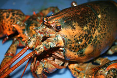Lobster in Water Royalty Free Stock Photos