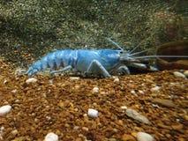 Lobster in water tank at an aquarium. Blue lobster in water tank at an aquarium Stock Photography