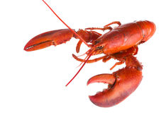 Lobster on white Stock Images