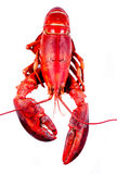 Lobster on white background Royalty Free Stock Images
