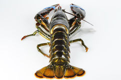 Lobster on white Stock Photos