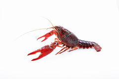 A lobster Stock Photography