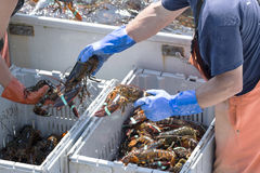 Lobstermen sorting just caught live lobsters on their boat in Ma Stock Photo