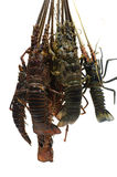 Lobsters. Freshly caught lobsters on white Royalty Free Stock Photography