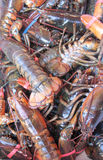 Lobsters Royalty Free Stock Image