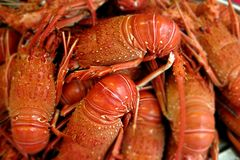 Lobsters royalty free stock images