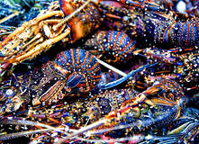 The Lobsters. Picture of a very colourful and beautiful small lobsters that ready to be cook Stock Photography