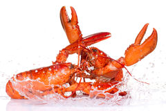 Lobsters fighting Stock Image