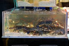 Lobsters. Live Lobsters in Water at Fish Market stock images