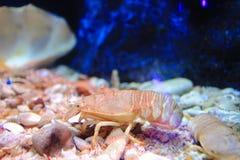 Lobsters moreton bay bug Royalty Free Stock Photos