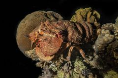 Lobsters in the Red Sea. Colorful and beautiful, Eilat Israel royalty free stock images