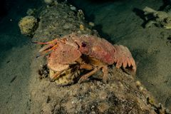 Lobsters in the Red Sea. Colorful and beautiful, Eilat Israel stock image