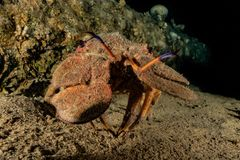 Lobsters in the Red Sea. Colorful and beautiful, Eilat Israel royalty free stock photo